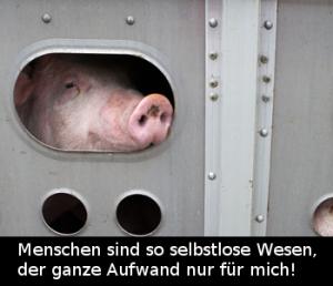 schwein im Laster